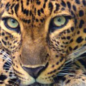 China issues permits to trade in the bones of hundreds of leopards