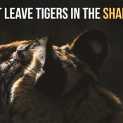 The world has lowered its guard on the last wild tigers