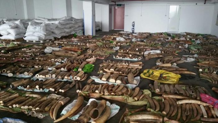 Ivory tusks, rhino horns and teeth from big cats seized by Singapore authorities in May 2015 (c) Agri-Food and Veterinary Authority of Singapore