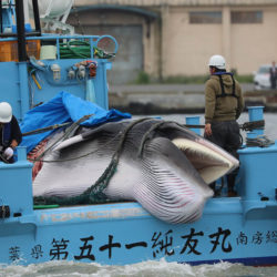 Dead minke whale being transported into shore on a Japanese boat