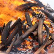 Kenya ivory burn a beacon to the end of all ivory trade