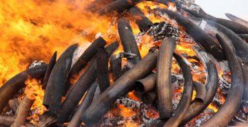 Ivory stockpile burning in Tsavo, Kenya in 2011  Ivory stockpile burning in Tsavo, Kenya 2011  Ivory stockpile burning in Tsavo, Kenya