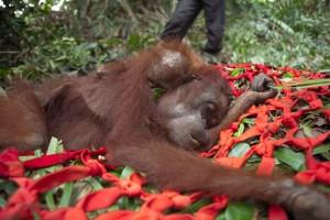 Los orangutanes y sus selvas mueren por el aceite de palma