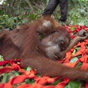 Oil palm firm urged to halt after rescue of orangutans