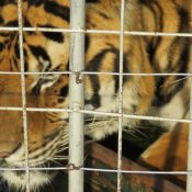 Demand reduction 'impossible' where government policies endorse use of big cat parts