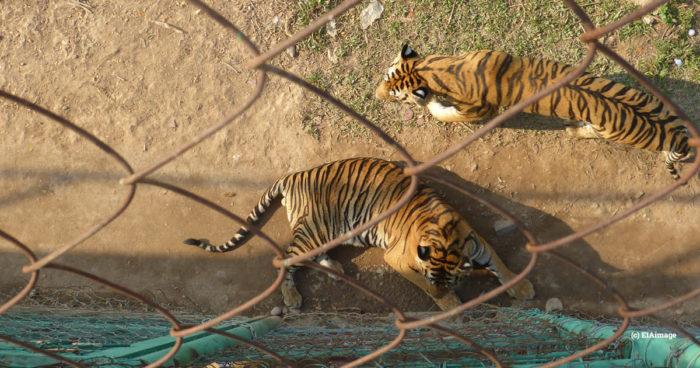 Laos GTSEZ tiger 2