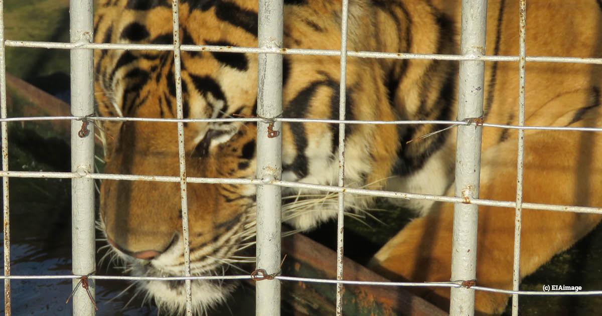 Laos GTSEZ tiger