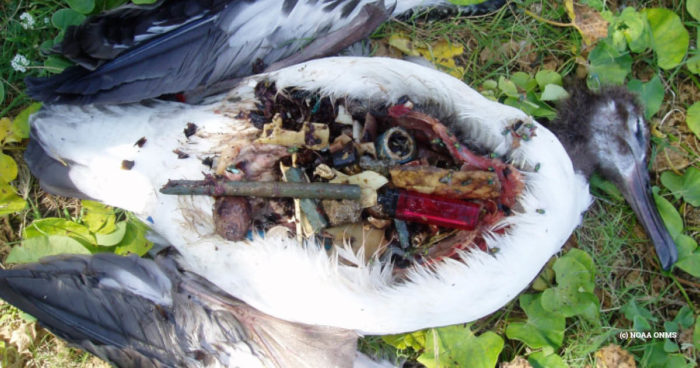 Laysan Albatross in Midway Atoll (c) NOAA ONMS