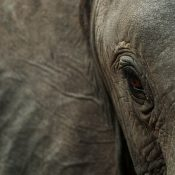 UK ivory ban becoming law is the best Christmas gift for the world's threatened elephants!
