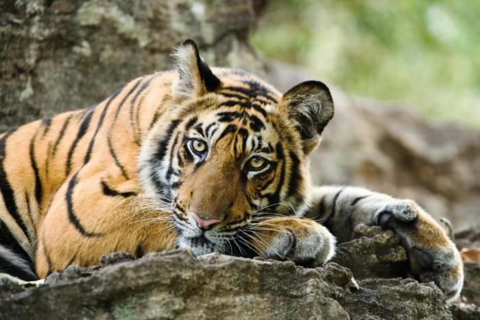 Bengal tiger (c) Elliott Neep