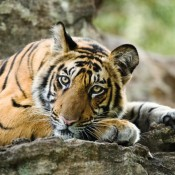 Positive ways to move ahead on International Tiger Day