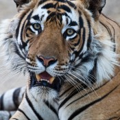Tigers and big cats: the good, the bad & the ugly