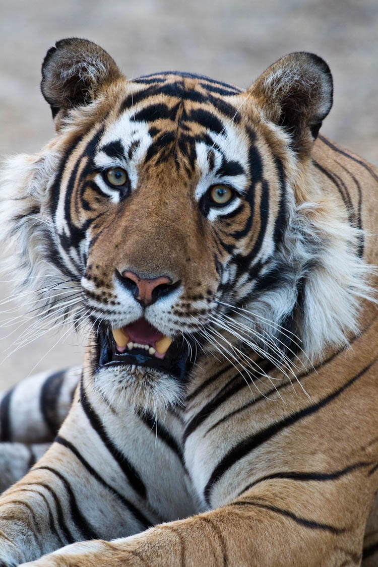Tigers And Big Cats The Good, The Bad  The Ugly  Eia -5883