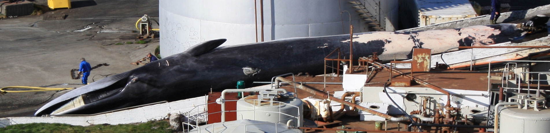 Dead fin whale being processed in a whaling factory, Reykjavik, Iceland