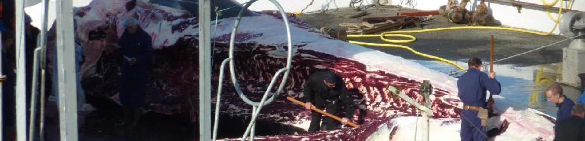 Workers butchering a fin whale at Miosandur whaling station, Hvalfjordur, Iceland (August 2014)