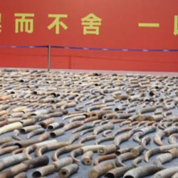 Seized ivory on display in China by China Customs