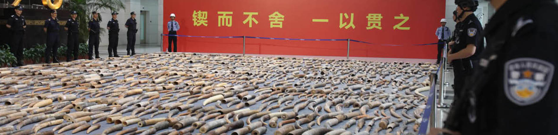 China Customs display ivory seized in the country