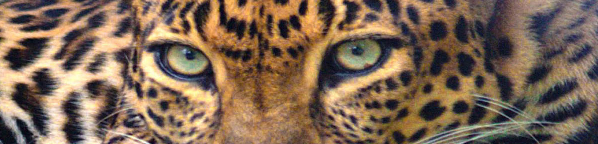 Close up image of an Indochinese leopard