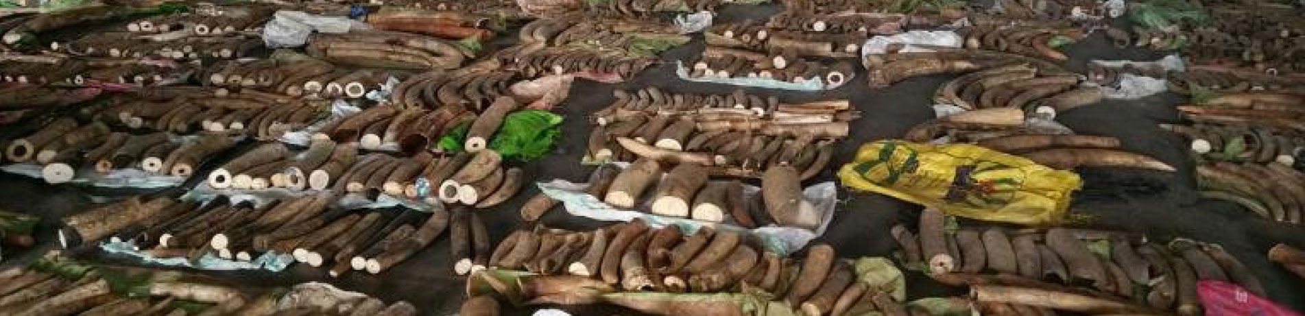 Seizure of ivory tusks, rhino horns and big cat teeth on display