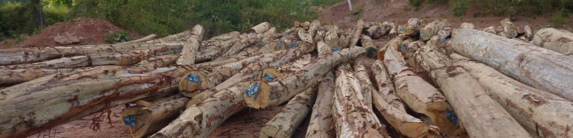 Felled Lagerstroemia logs in Laos