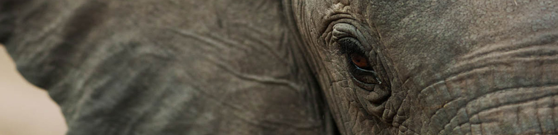Close up image of an African elephant, Malawi