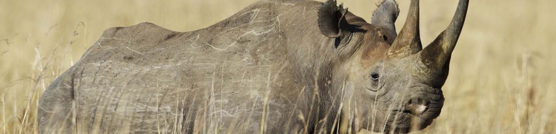 Black rhino in the wild