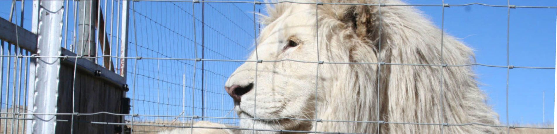 Captive bred lion
