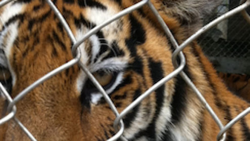Captive tiger behind fence, China