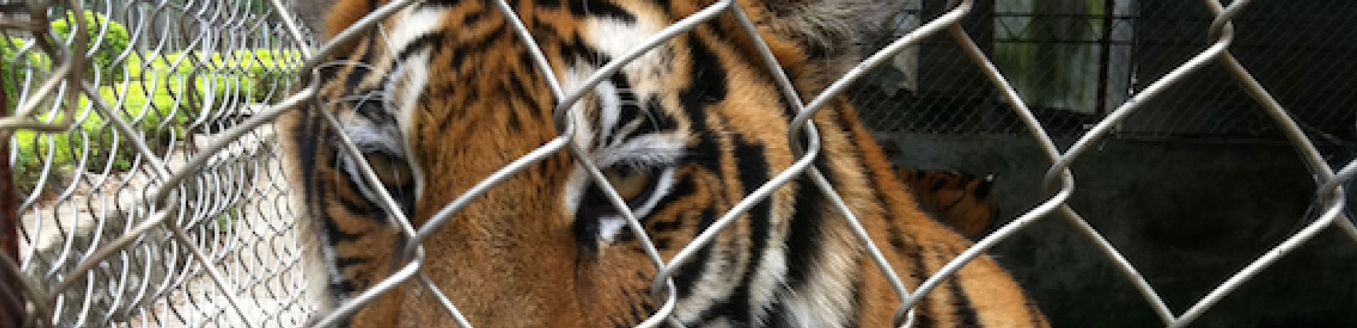 Captive tiger behind fence, China
