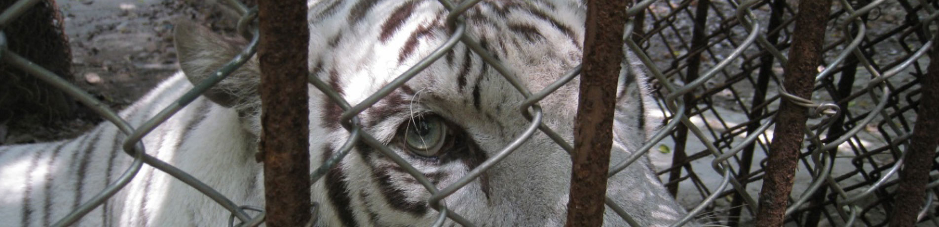 Close-up image of captive tiger behind a fence, Gulin, China