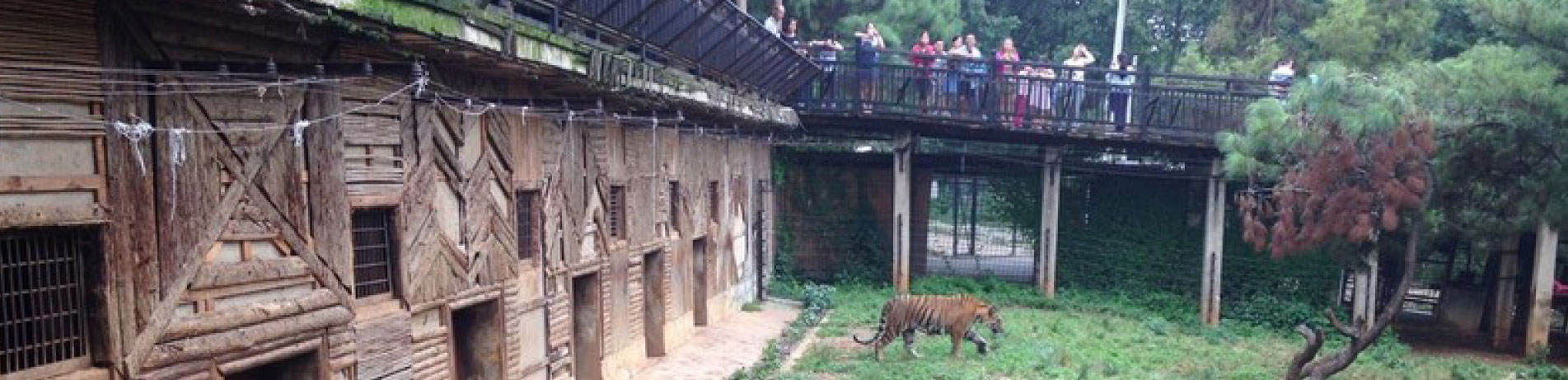 Captive tiger in an enclosure with people watching from an overhead walkway