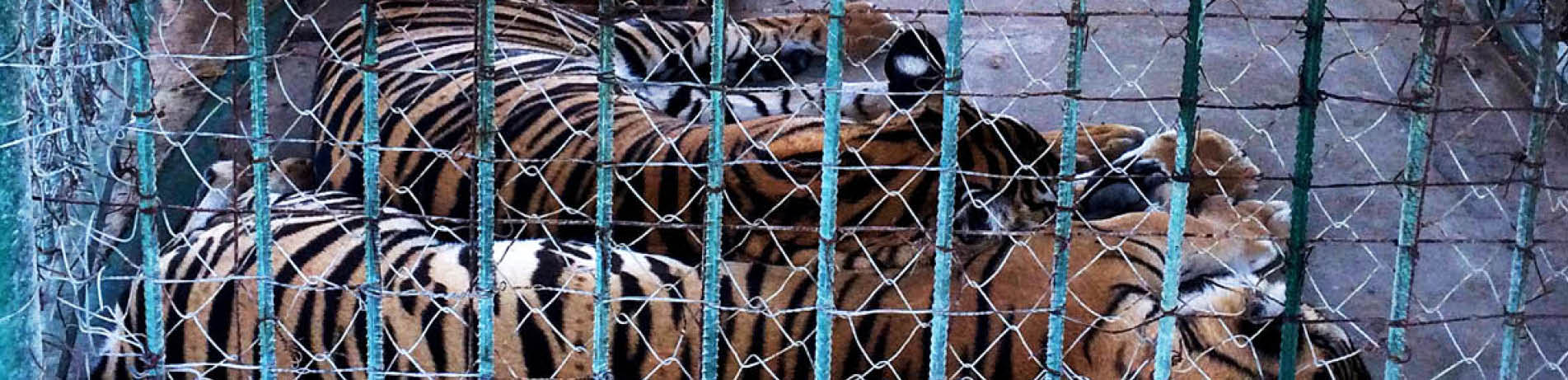 Captive tigers behind fence, China
