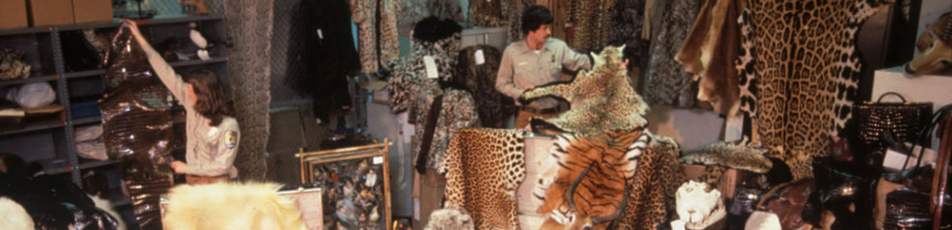 Officials handling confiscated wildlife items including tiger and leopard skins