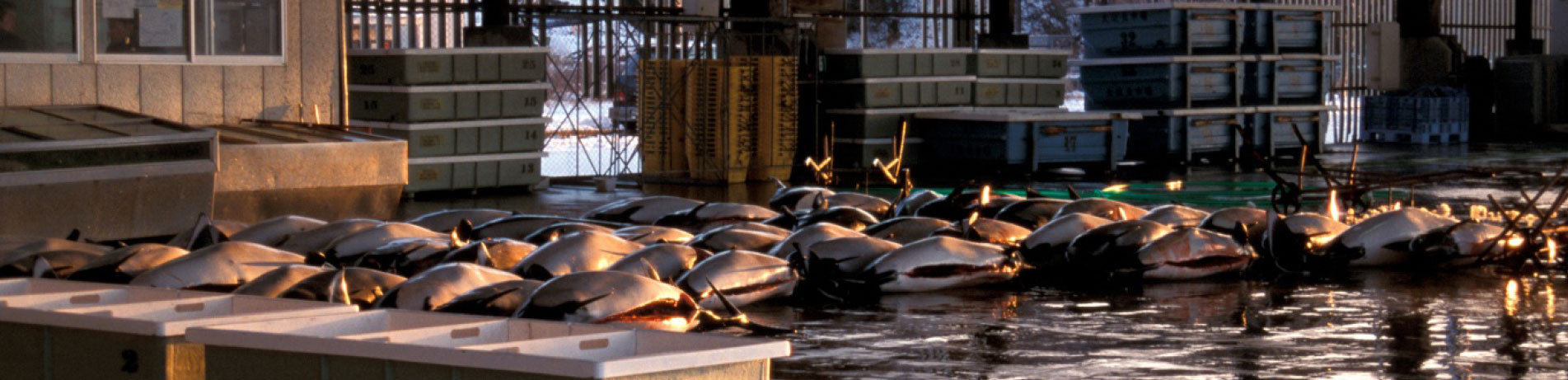 Landed Dall's porpoises in Otsuchi, Japan
