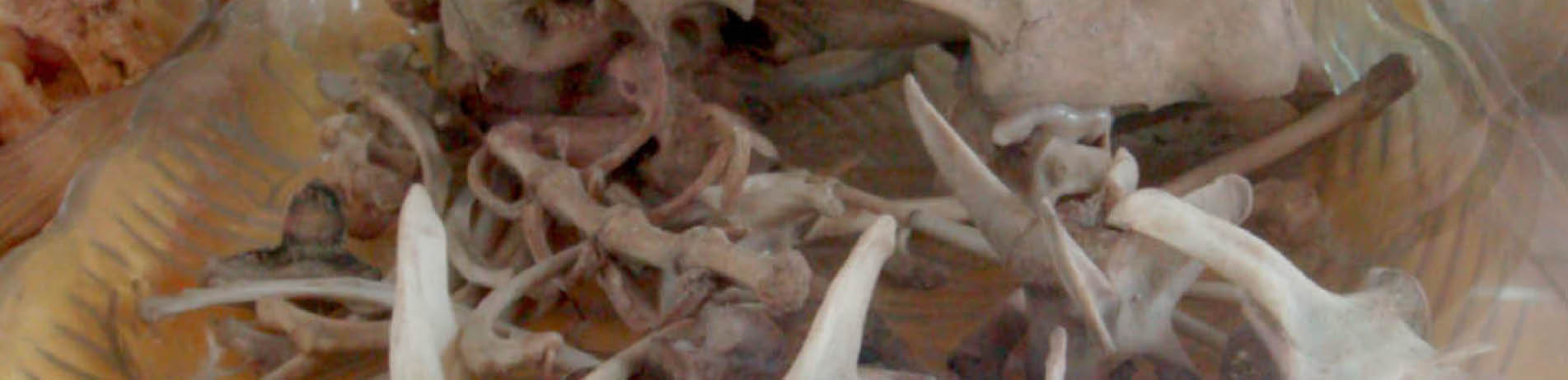 Pieces of leopard bone