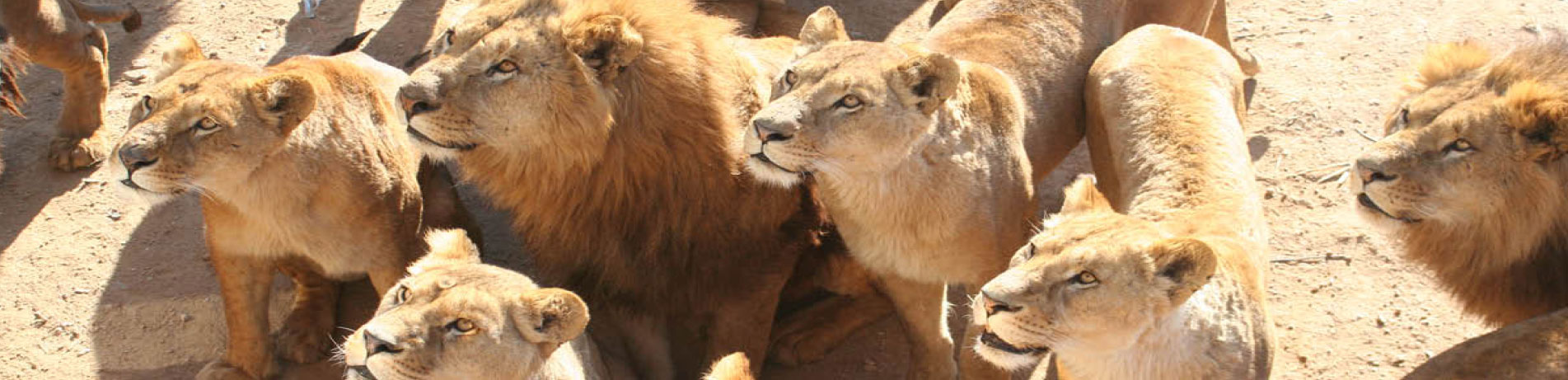 Group of captive lions