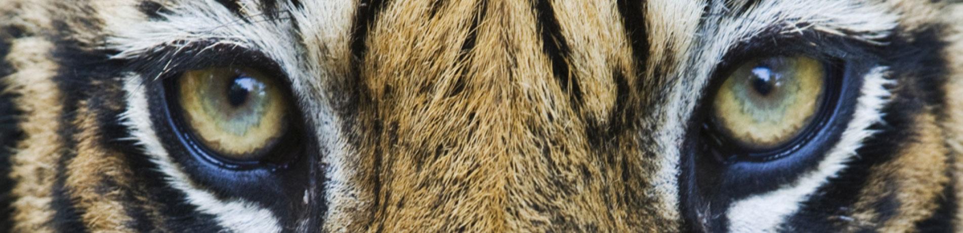 Close up image of tiger eyes