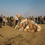 Mozambique destroys ivory & rhino horn to send clear signal