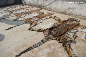 Nepalese authorities seized seven tiger skins, hundreds of tiger bones and arrested seven people during operations in January 2013 (c) Nepal Police