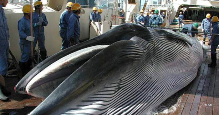 Nisshin Maru whale on deck