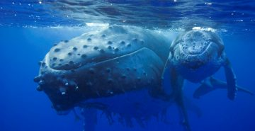 Humpback whale mother and calf (Megaptera novaeangliae), Kingdom of Tonga, South Pacific, during filming for Planet Earth, Sept 2005.