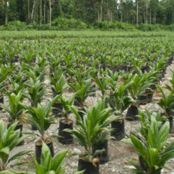 Oil palm plantation on deforested land in Papua, Indonesia