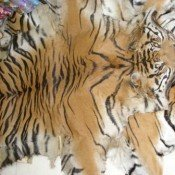 Undercover team exposes the tiger trade