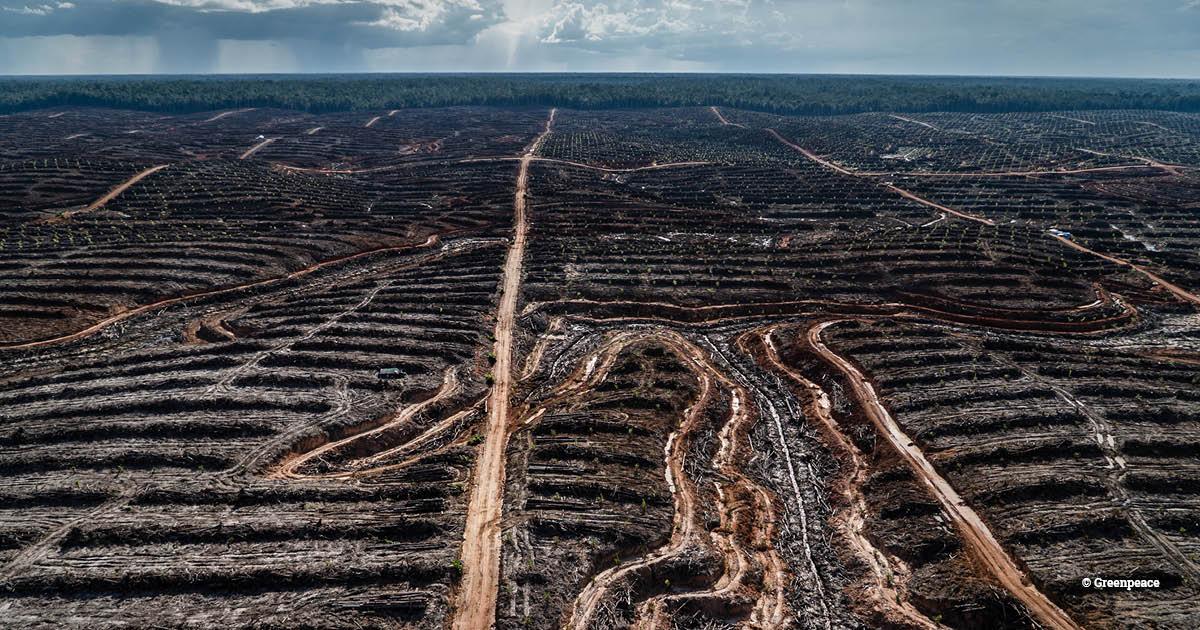 PT Megakarya Jaya Raya (PT MJR) palm oil concession in Papua (c) Greenpeace