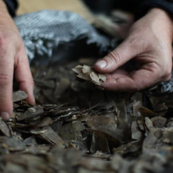 Hands sifting through a large sack of Pangolin scales