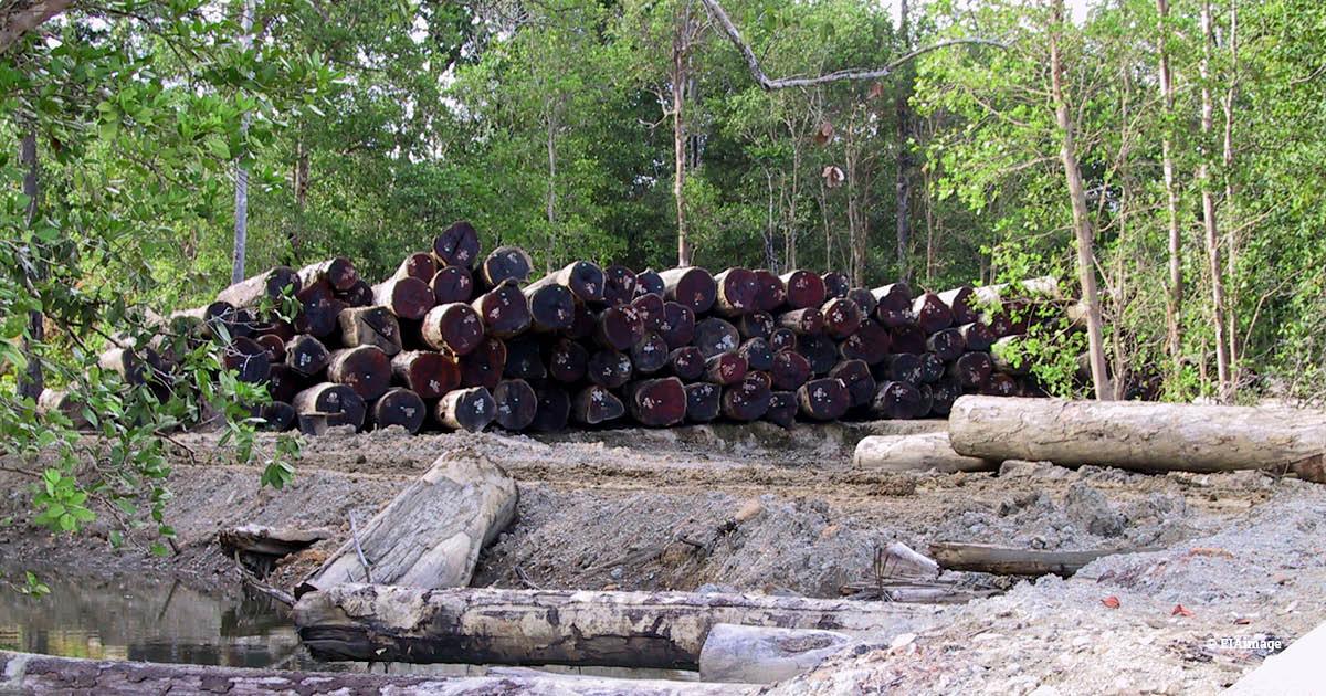 Papua logging