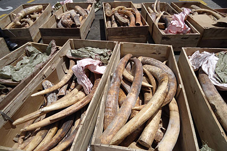 Part of the seized shipment of 259 pieces of raw ivory in Dubai © UAE Ministry of Environment & Water