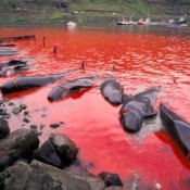 Faroese slaughter record number of pilot whales in 2010
