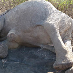 An elephant killed by poaching