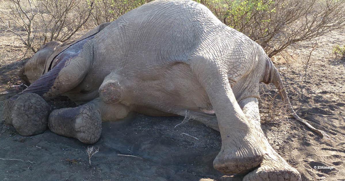 Poached elephant, Kenya